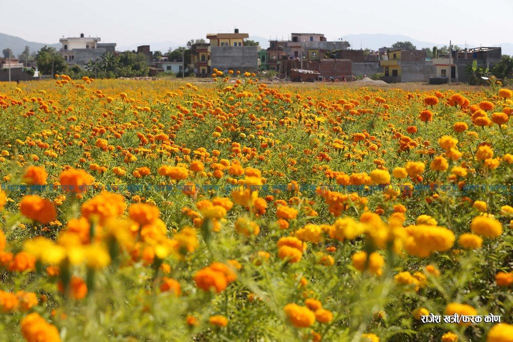 दाङमा पहिलो व्यवसायिक फूल खेति हेर्नुहोस फोटोफिचर (भिडियो सहित )